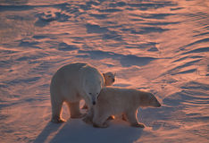 Polar bear family back lit by low Arctic sunlight. Polar bear with her cubs in Canadian Arctic Royalty Free Stock Photo