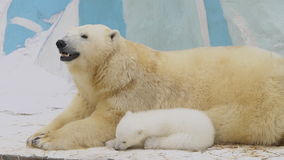 Polar bear family rest in a zoo in a winter stock video footage