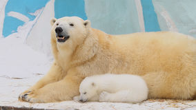 Polar bear family rest in a zoo in a winter Royalty Free Stock Photo
