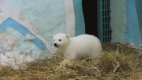 Polar bear family walk in zoo in a winter
