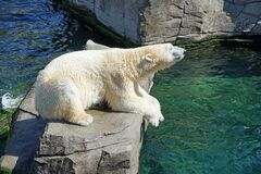 Polar Bear, Fauna, Bear, Zoo Stock Image