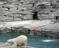 Polar Bear Feeding. Female polar bear coming out of the water with food Stock Image