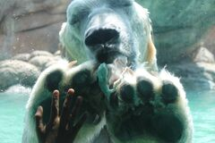 Polar Bear Feeding Stock Images