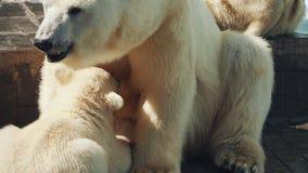 Polar Bear Feeding Cubs. Female Polar Bear Feeding Her Two Little Cubs While Sitting Near Pool In The Zoo stock video