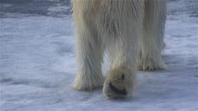 Polar bear feet close up, making footprints in sea ice