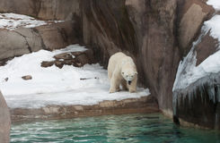 Polar Bear. A female polar bear pacing her zoo enclosure Royalty Free Stock Images
