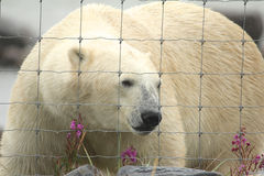 Polar Bear at the fence 1 Royalty Free Stock Image
