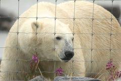 Polar Bear at the fence 1 Royalty Free Stock Image