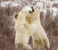 Polar bear fight. Two male polar bears stand up to spar and fight in the bushes royalty free stock photos