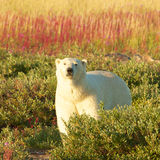 Polar Bear and Fire Weed SQ Royalty Free Stock Photo
