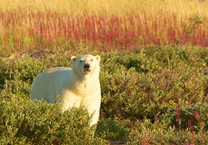 Polar Bear and Fire Weed 1 Royalty Free Stock Photography