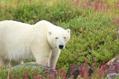 Polar Bear in the Fireweed B Royalty Free Stock Image