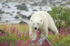 Polar Bear in the Fireweed C Royalty Free Stock Photo