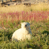 Polar Bear and Fireweed 2 Royalty Free Stock Image