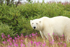 Polar Bear in the Fireweed A Stock Images