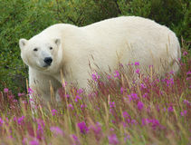 Polar Bear and Fireweed 1 Royalty Free Stock Photography