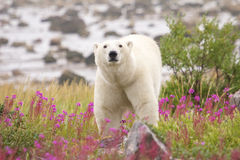 Polar Bear and Fireweed 1 Royalty Free Stock Photos