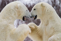 Polar bear fist bump. Two polar bears appear to be shaking hands or bumping fists while preparing to spar; canine teeth exposed royalty free stock images