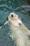 The polar bear floats on his back Stock Photography