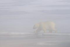 Polar bear in the fog Stock Images