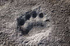 Polar bear footprint Stock Images