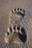 Polar bear footprints. In Svalbard, Norway Stock Images