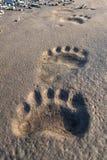 Polar bear footprints. In Svalbard, Norway Royalty Free Stock Images