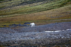 Polar bear on the Franz Josef Land. Royalty Free Stock Photo
