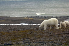 Polar bear on the Franz Josef Land. Polar bear on Franz Josef Land. Due to lack of ice and seals bears to search for food on Islands young mother and cub stock photo