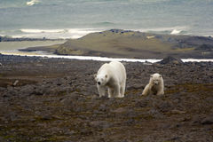 Polar bear on the Franz Josef Land. Polar bear on Franz Josef Land. Due to lack of ice and seals bears to search for food on Islands: young mother and cub royalty free stock photos