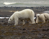 Polar bear on the Franz-Josef Land. Polar bear on Franz-Josef Land. Due to lack of ice and seals bears to search for food on Islands: young mother and cub stock photos