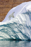 Polar Bear - Franz Joseph Fjord - Greenland. A Polar Bear (Ursus maritimus) on coastal ice in Franz Joseph Fjord in Eastern Greenland Royalty Free Stock Photography
