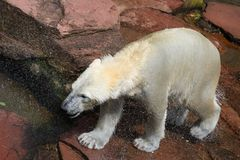 Polar bear freshly from the water Stock Photos