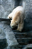 Polar Bear, friendly animals at the Prague Zoo. Royalty Free Stock Photography