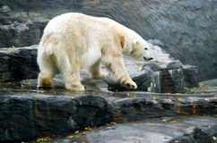 Polar Bear, friendly animals at the Prague Zoo. Stock Image