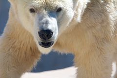 Polar bear frontal. Polar bear going for its prey Royalty Free Stock Images