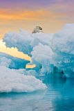 Polar Bear on Frozen Outcrop. Polar bear sitting on frozen ice outcrop.  Vertically framed shot Stock Photo