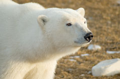 Polar Bear Gaze Stock Photo