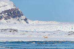 Polar bear, glacier and the mountains and sea of Svalbard. Polar bear walks against a backdrop of snowy mountains, along the edge of the fast ice in Yoldiabukta royalty free stock photos