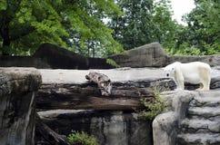Polar Bear, Global Warming Stock Photography
