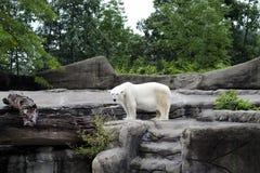 Polar Bear, Global Warming Stock Photo