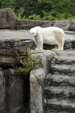Polar Bear, Global Warming Stock Photos