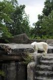 Polar Bear, Global Warming Royalty Free Stock Photo