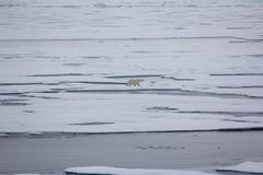 Polar bear goes into the expanses of the Arctic ocean stock images