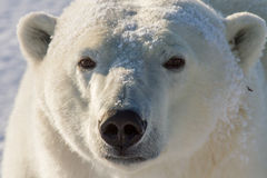 Polar bear golden portrait Royalty Free Stock Photos