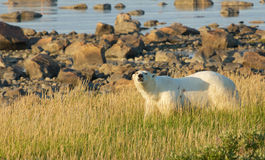 Polar Bear in the grass  Stock Images