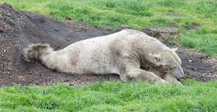 Polar bear on grass. Lazy and resting stock image