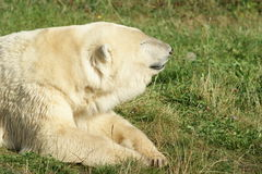Polar bear on grass royalty free stock photos