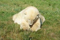 Polar bear on grass royalty free stock photography