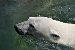 Polar bear. A great swimmer northern latitudes Royalty Free Stock Images